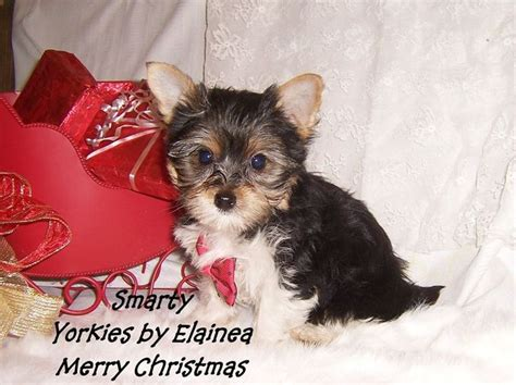 yorkie breeders in arkansas parti yorkie puppy for sale in arkansas tiny yorkie puppies for sale in arkansas