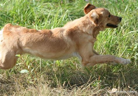 what is a field golden retriever skyriver golden retrievers field bred golden retriever puppies