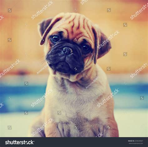 pug filter chihuahua pug mix puppy chug stock photo 293639507