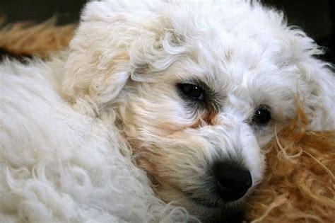 lifespan of bichon poodle bichon frise expectancy 42 cool hd wallpaper