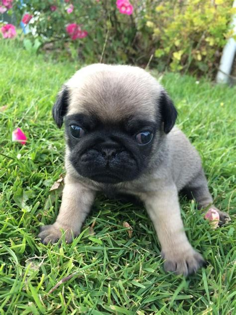 pugs for sale in cardiff pug for sale cardiff cardiff pets4homes
