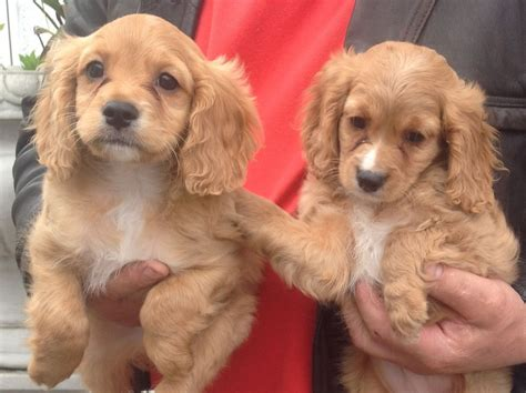 for puppies cavapoo puppies for sale barking essex pets4homes