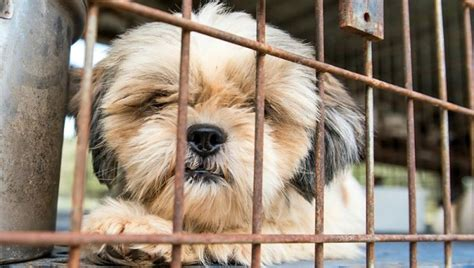 Small Dogs Need Home 100 Dogs Need Homes After Being Rescued From A Puppy Mill
