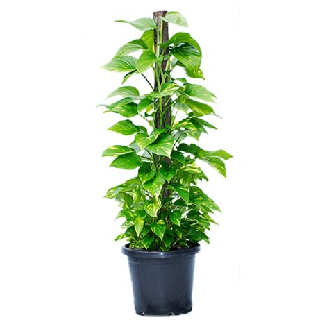 indoor plants for sale online tropical plant nursery