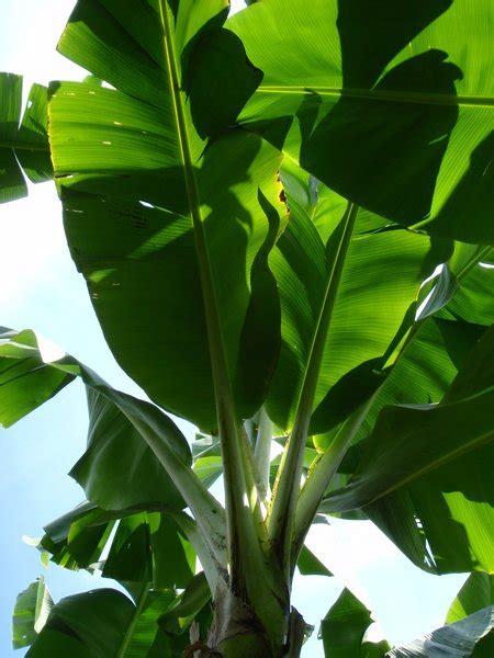 banana plant wallpaper banana tree hd wallpaper