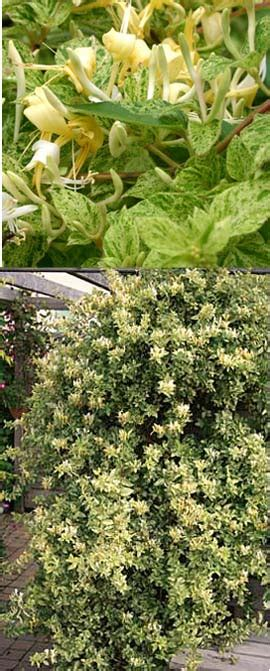 evergreen climbing plants for containers garden mints