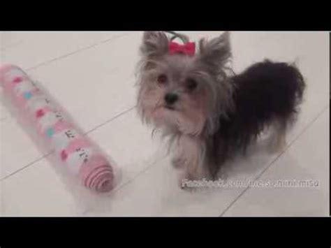 world s smartest yorkie worlds smartest puppy misa minnie 10 months