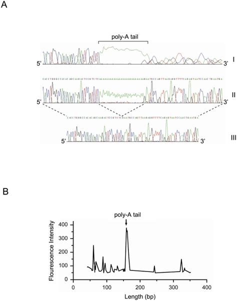 pcr product as template dna conformational irregularities around aluyi6 ah151