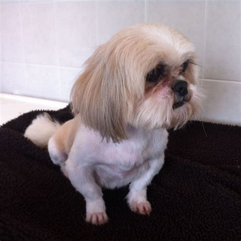 oldest shih tzu 2 yr shih tzu durham county durham pets4homes
