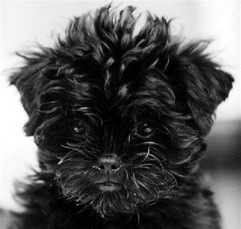 affenpinscher puppy 17 best images about affenpinscher dogs on dogs puppys and large