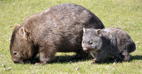 imagenes de animal wombat wombat mit jungtier foto bild tiere wildlife