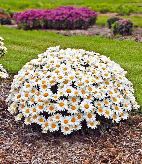www baldur garten de leucanthemum whoops a top qualit 228 t baldur garten