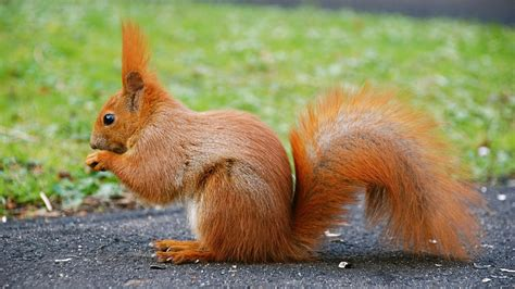 orange squirrel wallpapers and images wallpapers
