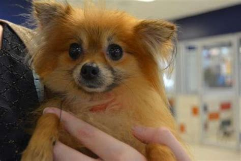 pomeranian adoption houston small dogs found in deplorable conditions will soon be up for adoption at houston