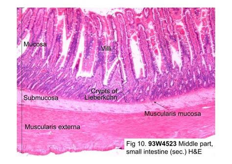 Transverse Section Of Small Intestine by Topic 6 Human Physiology Lowes Ib