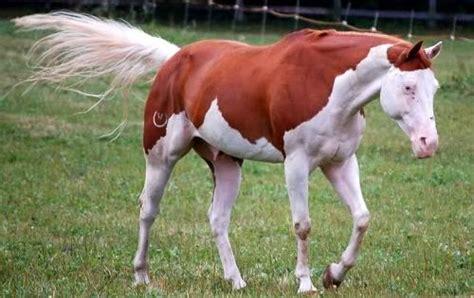 white pattern in horses splashed white pattern he looks like he s wearing a