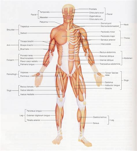muscular system diagram labeled diagram of the muscles system the muscular system micro