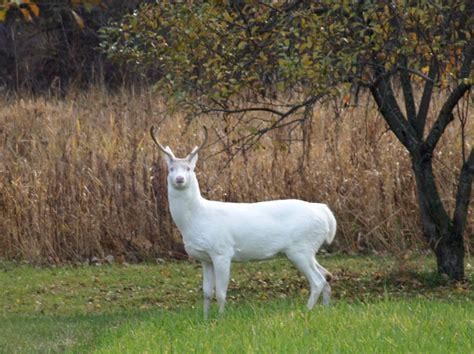 albino deer hunting