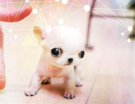 Boneka Anjing Buldog Mini 20cm 94 todos los nombres de cachorros aqui nombres para perros pitbull los caninos pitbull