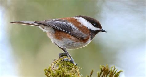 chestnut backed chickadee identification all about birds