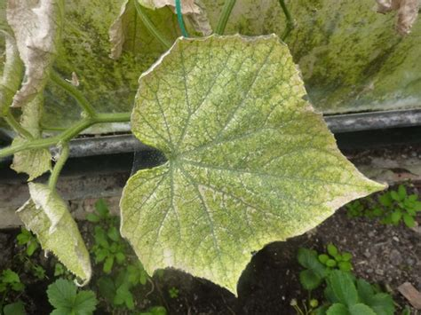 cucumber plant diseases pictures i two cucumber plants suffering from different
