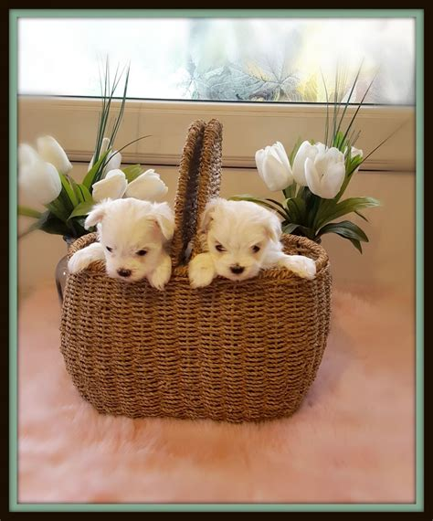 maltese puppies for sale in az maltese puppies for sale az 190846 petzlover