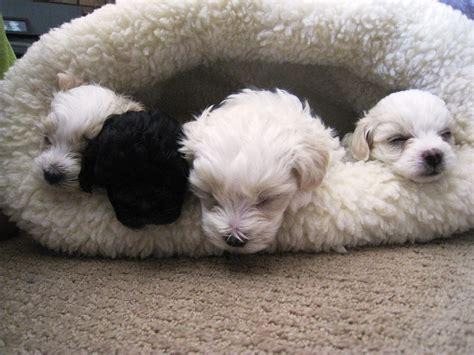 yorkie poo maltese puppies maltese and yorkie mix teacup www imgkid the image kid has it