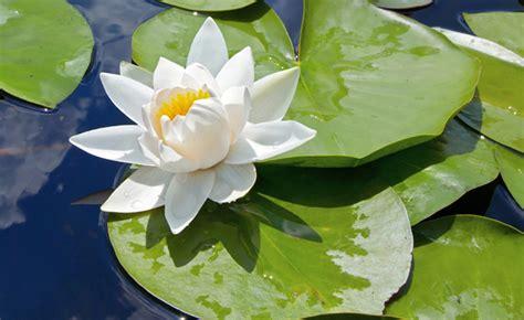 ninfee fiori ninfee fai da te in giardino