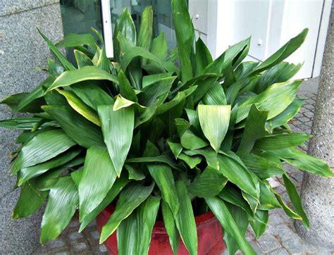 light indoor plants   favorite house plants