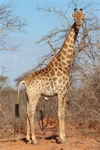 tammie matson 187 secrets giraffes