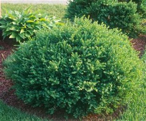 informal globe boxwood buxus microphylla zone 5 1m x 1m to