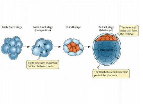 pattern formation during embryonic development is based on chapter 13b fertilization and cleavage