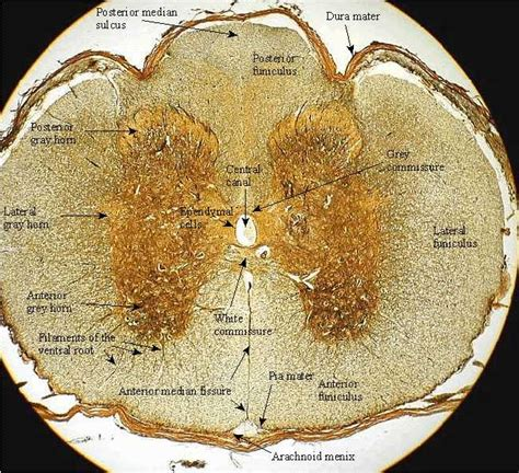 mammalian spinal cord in cross section spinal cord david fankhauser