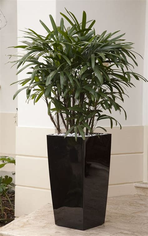 raphis palm  called lady finger palm  gorgeous