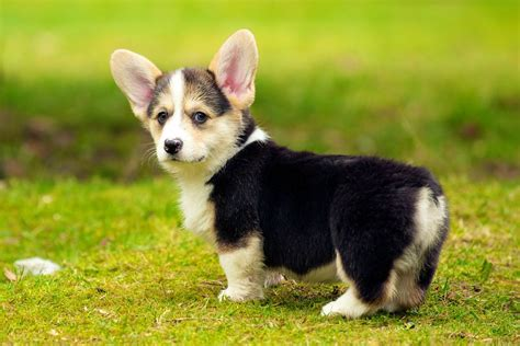 corgi puppy the 30 cutest corgi puppies of all time best photography landscapes and animal