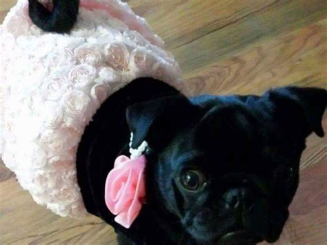 pugs for sale illawarra purebred pug puppy for sale nsw penrith