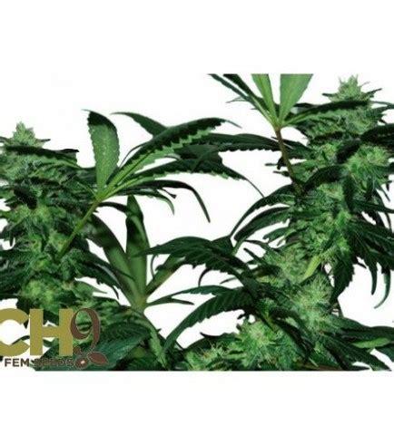 monterreycannabiscom venta de marihuana  domicilio en monterrey pineapple express og kush