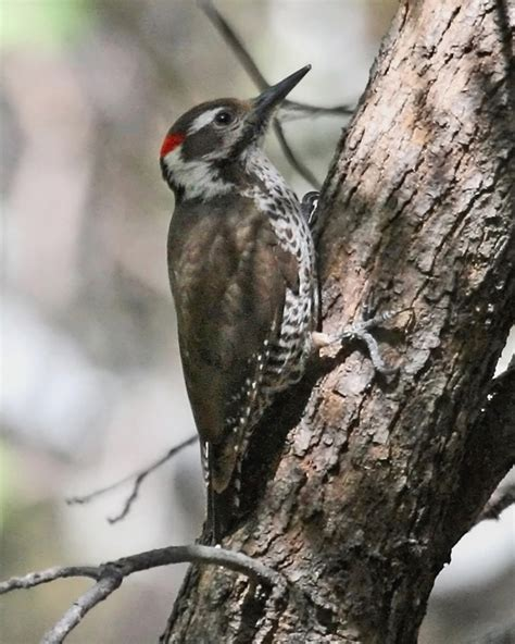 arizona woodpecker photos birdspix