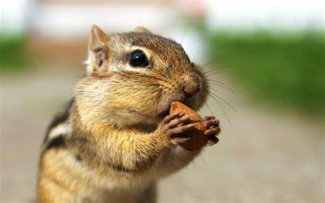 A Chipmunk - chipmunks wallpapers animals