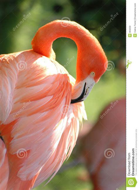 Celana Flaminggo flamingo royalty free stock images image 963259