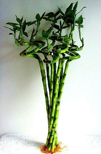 Exclusive Gembok Spiral Taiwan Termurah betterdecor 10 stalks of 18 inches spiral lucky bamboo exclusive design by betterdecor news