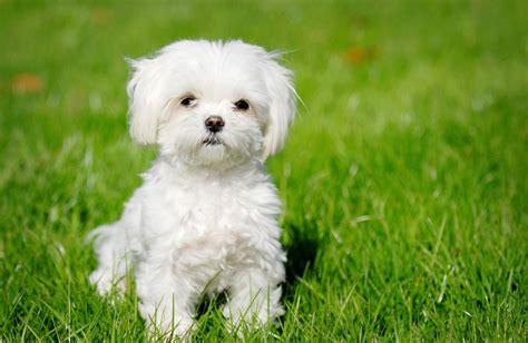 riviera oggi 187 allevatore di cani maltesi evade il fisco