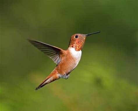 rufous hummingbird hummingbird migration 2014 fall happy memorial day 2014
