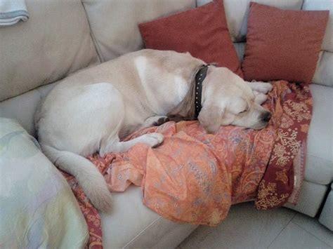 hund in der wohnung kann einen labrador in der wohnung halten der