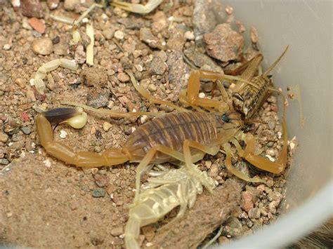 Deathstalker Coda deathstalker scorpion