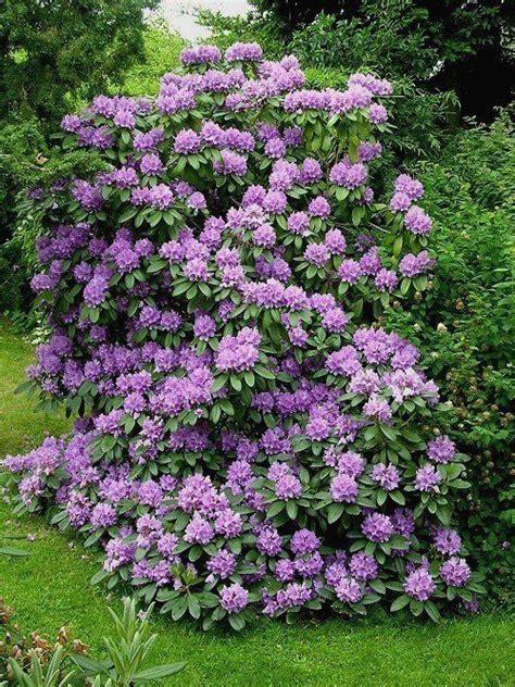 purple flowering bush the 25 best purple flowering bush ideas on ornamental plants purple pas grass