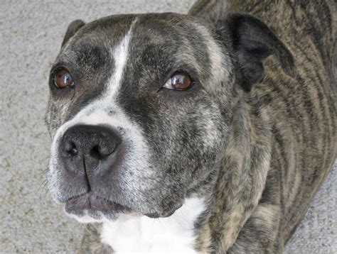 brindle breed list types of brindle in dogs breeds picture