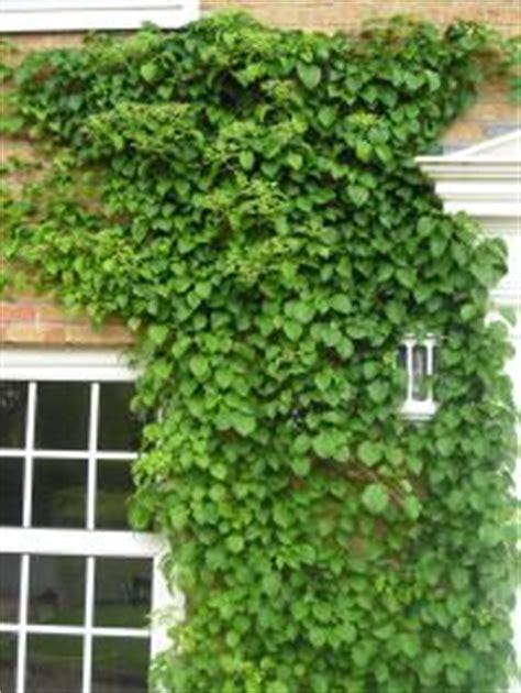 climbing plant names climbing hydrangea hydrangea petiolaris climbers