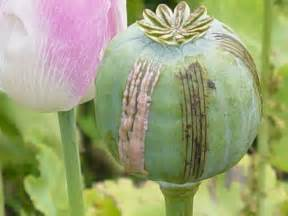 Opium opium production in afghanistan shows increase prices set to rise