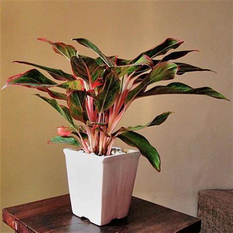 indoor plants online green red aglaonema buy indoor outdoor plants online
